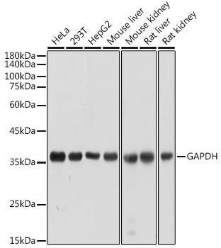 Cell Death Antibodies 2 Anti-GAPDH Antibody CABC027