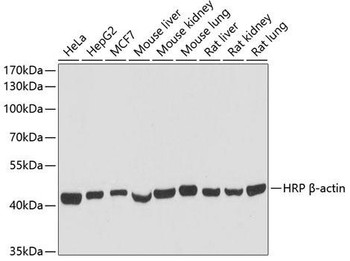 Loading Controls Anti-HRP-conjugated Beta Actin Antibody CABC028