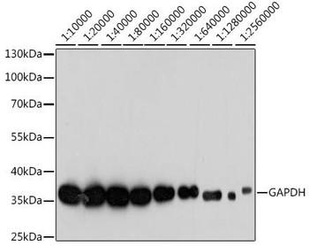 Cell Death Antibodies 2 Anti-GAPDH Antibody High Dilution CABC033