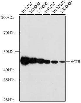 Loading Controls Anti-Beta Actin Antibody CABC038