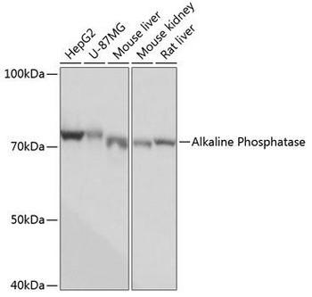 Signal Transduction Antibodies 3 Anti-Alkaline Phosphatase Antibody CAB0514