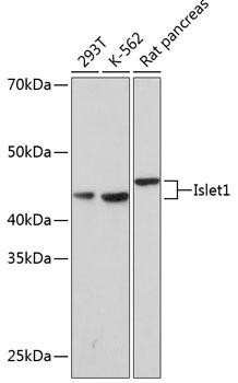 Developmental Biology Anti-Islet1 Antibody CAB0871