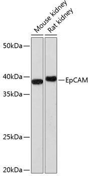 Cell Biology Antibodies 16 Anti-EpCAM Antibody CAB1107