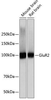 Signal Transduction Antibodies 3 Anti-GluR2 Antibody CAB11316