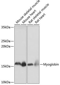 Signal Transduction Antibodies 3 Anti-Myoglobin Antibody CAB11368