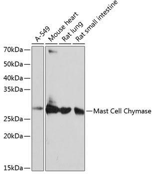 Immunology Antibodies 3 Anti-Mast Cell Chymase Antibody CAB11480