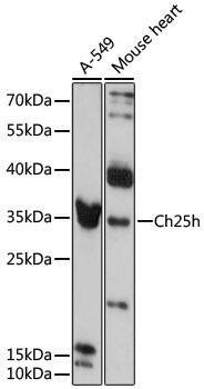 Cell Biology Antibodies 14 Anti-Ch25h Antibody CAB13832