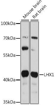 Developmental Biology Anti-LHX1 Antibody CAB16055