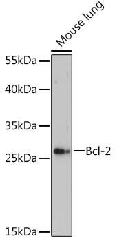 Cell Death Antibodies 2 Anti-Bcl-2 Antibody CAB16775