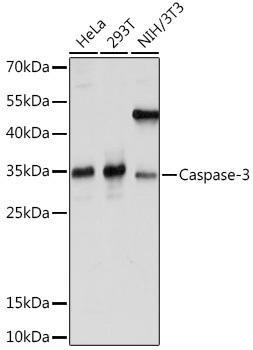 Cell Death Antibodies 2 Anti-Caspase-3 Antibody CAB16793