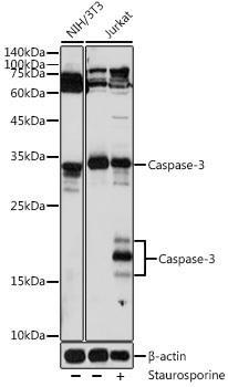 KO Validated Antibodies 1 Anti-Caspase-3 Antibody CAB16794KO Validated