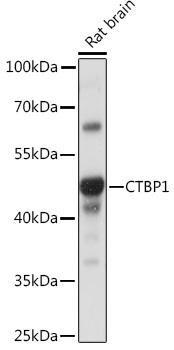 Developmental Biology Anti-CTBP1 Antibody CAB16825