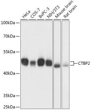 Developmental Biology Anti-CTBP2 Antibody CAB16826