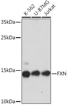 Metabolism Antibodies 3 Anti-FXN Antibody CAB16853