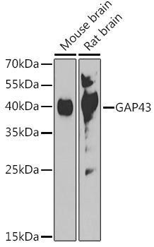 Developmental Biology Anti-GAP43 Antibody CAB16857