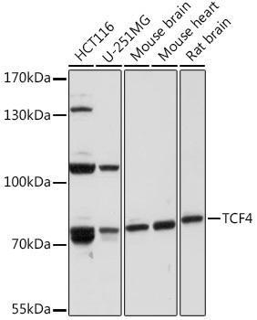 Developmental Biology Anti-TCF4 Antibody CAB16980