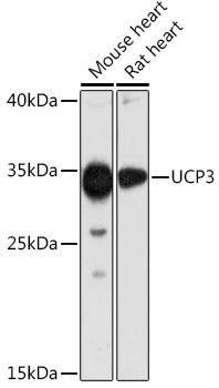 Signal Transduction Antibodies 3 Anti-UCP3 Antibody CAB16996