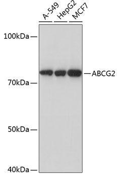 Signal Transduction Antibodies 3 Anti-ABCG2 Antibody CAB17908