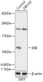 KO Validated Antibodies 1 Anti-DBI Antibody CAB18024KO Validated