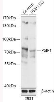 KO Validated Antibodies 2 Anti-PSIP1 Antibody CAB18101KO Validated