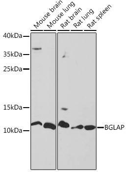 Signal Transduction Antibodies 3 Anti-BGLAP Antibody CAB18241