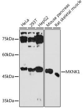 Signal Transduction Antibodies 3 Anti-MKNK1 Antibody CAB18429