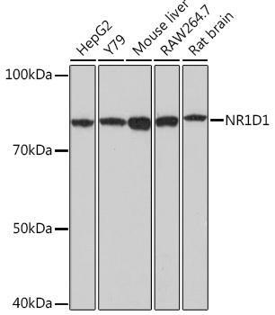 Cell Biology Antibodies 17 Anti-NR1D1 Antibody CAB18602