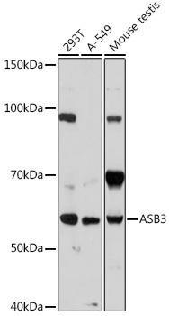 Cell Biology Antibodies 15 Anti-ASB3 Antibody CAB18625