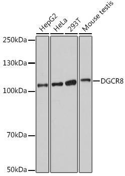 Cell Biology Antibodies 17 Anti-DGCR8 Antibody CAB18630