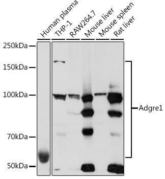 Cell Biology Antibodies 15 Anti-Adgre1 Antibody CAB18637
