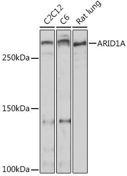 Cell Biology Antibodies 15 Anti-ARID1A Antibody CAB18650
