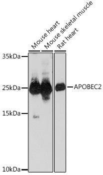 Cell Biology Antibodies 15 Anti-APOBEC2 Antibody CAB18653
