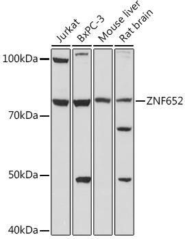 Cell Biology Antibodies 15 Anti-ZNF652 Antibody CAB18657
