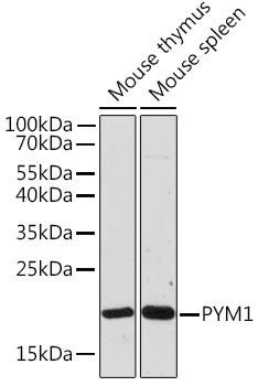 Cell Biology Antibodies 15 Anti-PYM1 Antibody CAB18669