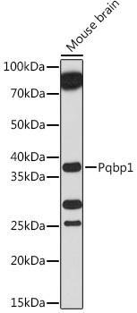 Cell Biology Antibodies 15 Anti-Pqbp1 Antibody CAB18680