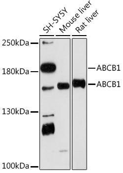 Cell Biology Antibodies 15 Anti-ABCB1 Antibody CAB18684