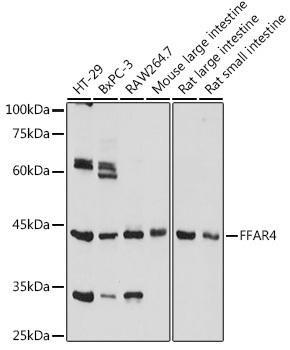 Cell Biology Antibodies 15 Anti-FFAR4 Antibody CAB18689