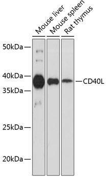 Cell Biology Antibodies 17 Anti-CD40L Antibody CAB19019