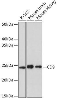 Cell Biology Antibodies 17 Anti-CD9 Antibody CAB19027