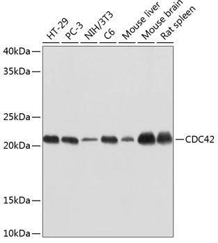 Developmental Biology Anti-CDC42 Antibody CAB19028