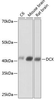 Developmental Biology Anti-DCX Antibody CAB19042