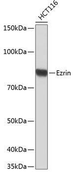 Cell Biology Antibodies 17 Anti-Ezrin Antibody CAB19048
