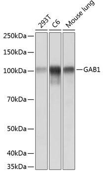 Cell Biology Antibodies 17 Anti-GAB1 Antibody CAB19054