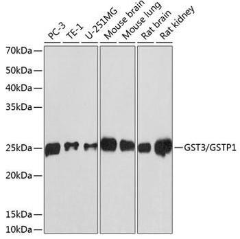 Cell Biology Antibodies 17 Anti-GST3 / GSTP1 Antibody CAB19061