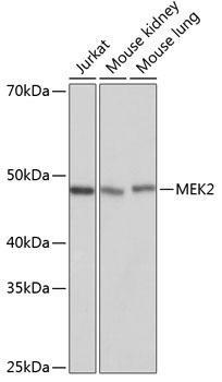 KO Validated Antibodies 2 Anti-MEK2 Antibody KO Validated CAB19078