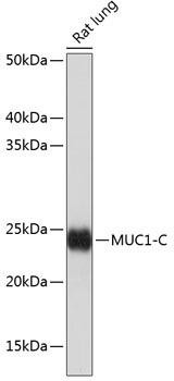 Cell Biology Antibodies 17 Anti-MUC1 Antibody CAB19081