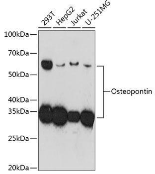 Signal Transduction Antibodies 3 Anti-Osteopontin Antibody CAB19092