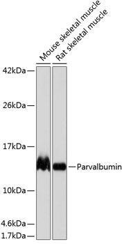 Cell Biology Antibodies 17 Anti-Parvalbumin Antibody CAB19098