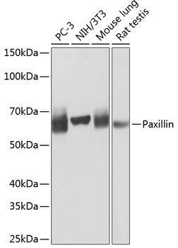 Cell Biology Antibodies 17 Anti-Paxillin Antibody CAB19100