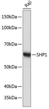 Cell Biology Antibodies 17 Anti-SHP1 Antibody CAB19111